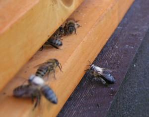 Včely obalené pylem