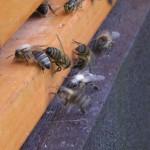 Včela obalená pylem