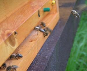 Včela + pyl