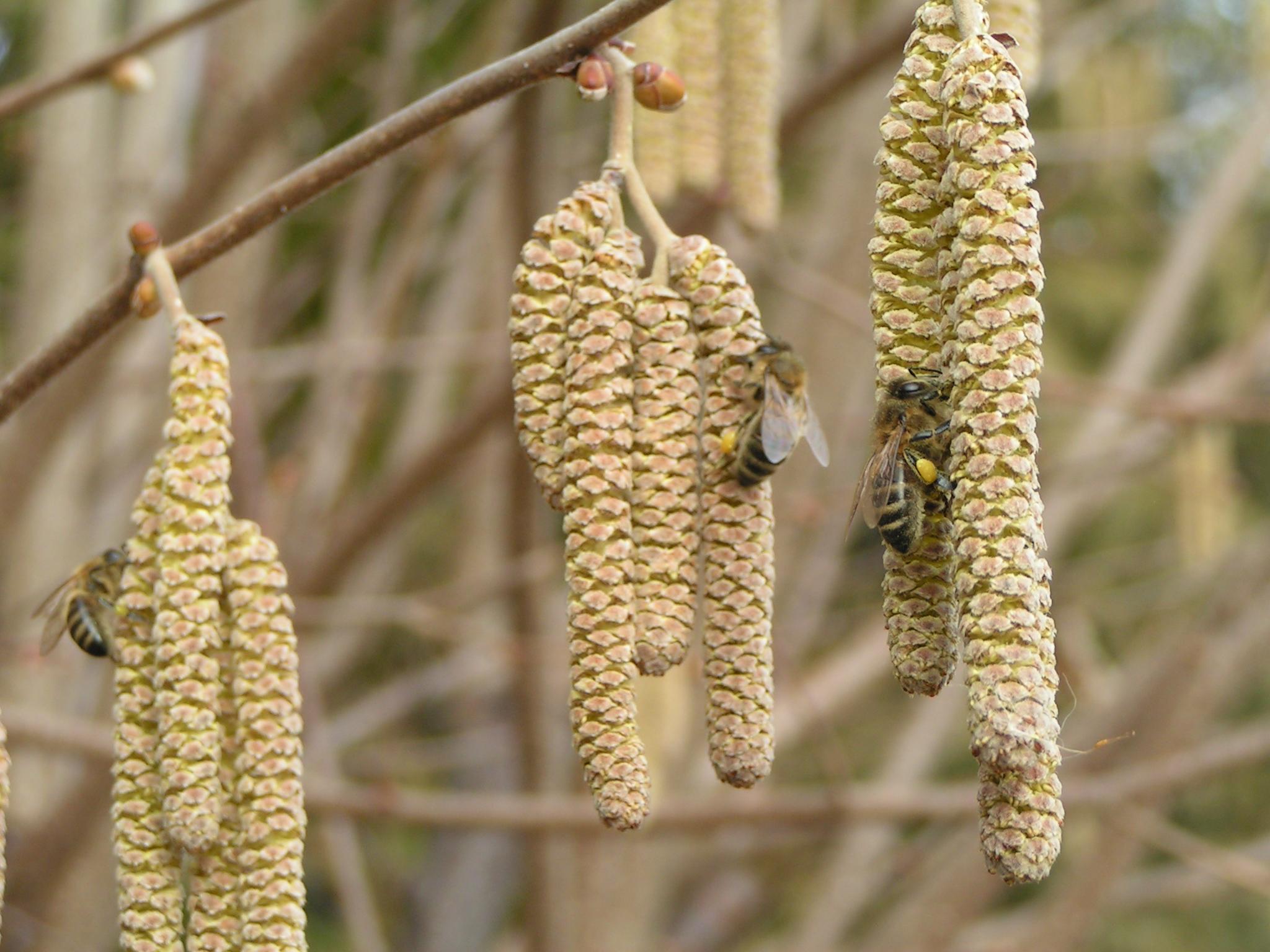 Včely na jehnědách