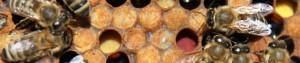 cropped-zásoby-žlutého-a-červeného-pylu+líhnoucí-se-včela.jpg