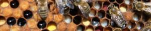 cropped-zásoby-pylu-nektaru-a-larvičky-které-včely-z-těchto-zásob-krmí.jpg