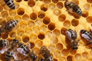 larvičky těsně před zavíčkováním a včely krmičky
