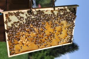 včely na plástu