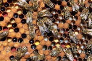 zásoby pylu, nektaru a larvičky které včely z těchto zásob krmí