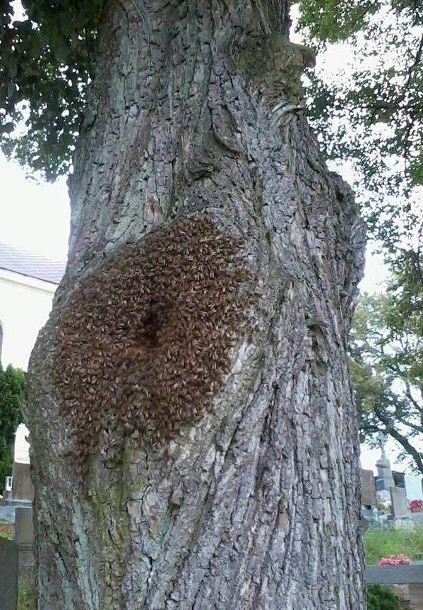 včely_lípa