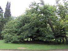 Kamenice_nad_Lipou_zámecký_park_památná_lípa